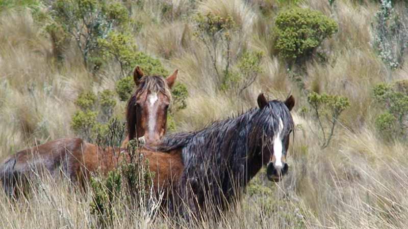 09-cotopaxi-wild-horses.jpg