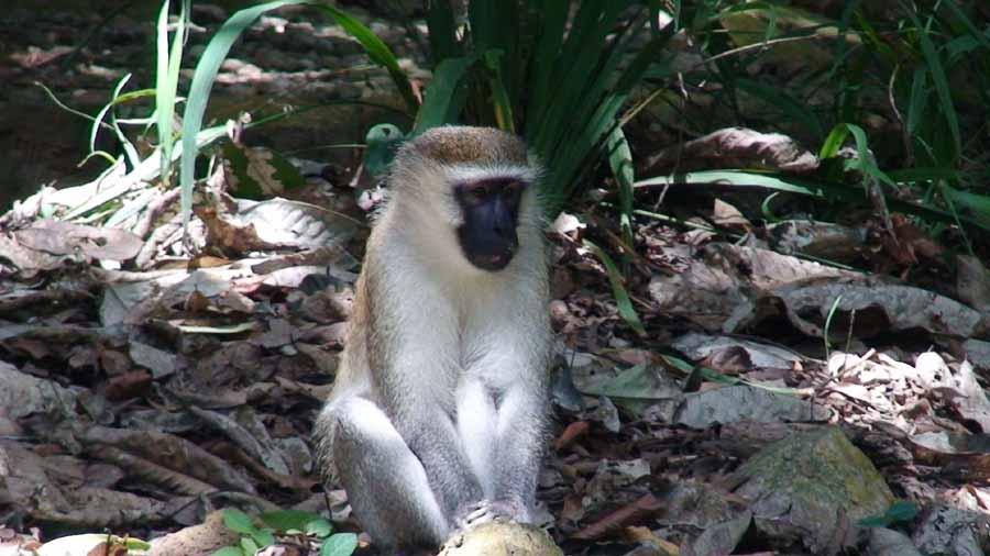 Berbet Monkey
